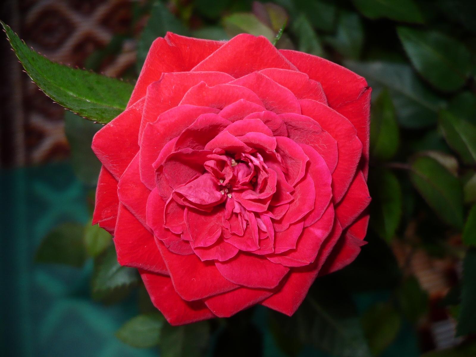 belle rose Rose: symbolisant la  indique que « vous êtes pour toujours jeune et beau/belle, » une rose sans épine évoque le « coup de foudre » tandis que la rose à.