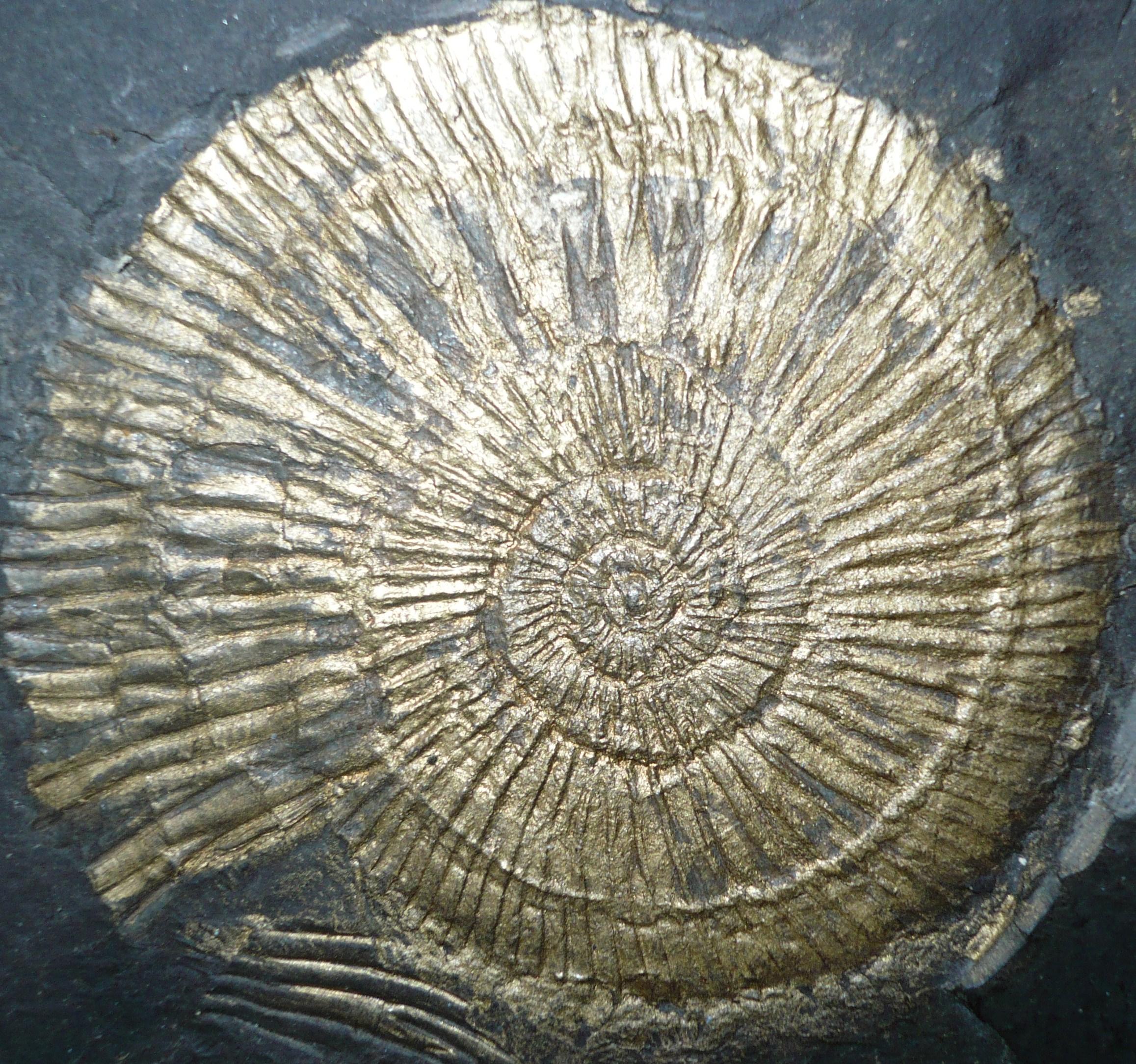 ammonite-2-002.JPG