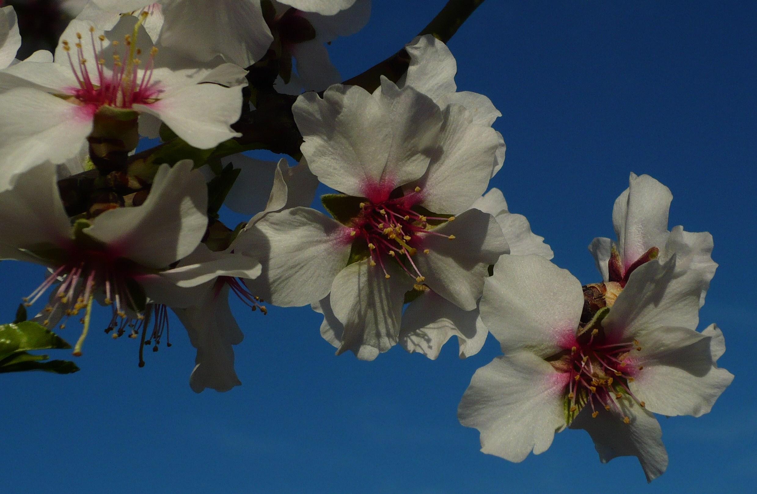 photo-recadree-de-fleurs-damandier.JPG