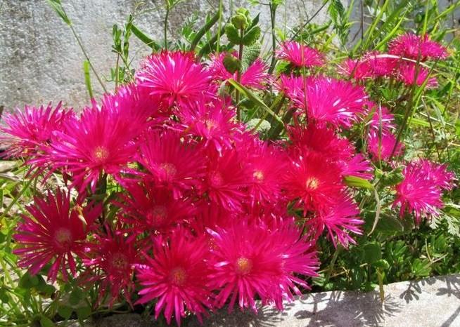 fleur-du-portugal.jpg