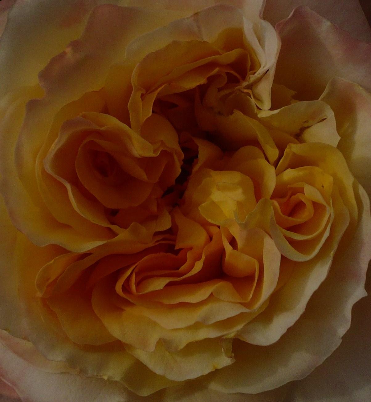 rose-jaune-et-rose-005.JPG