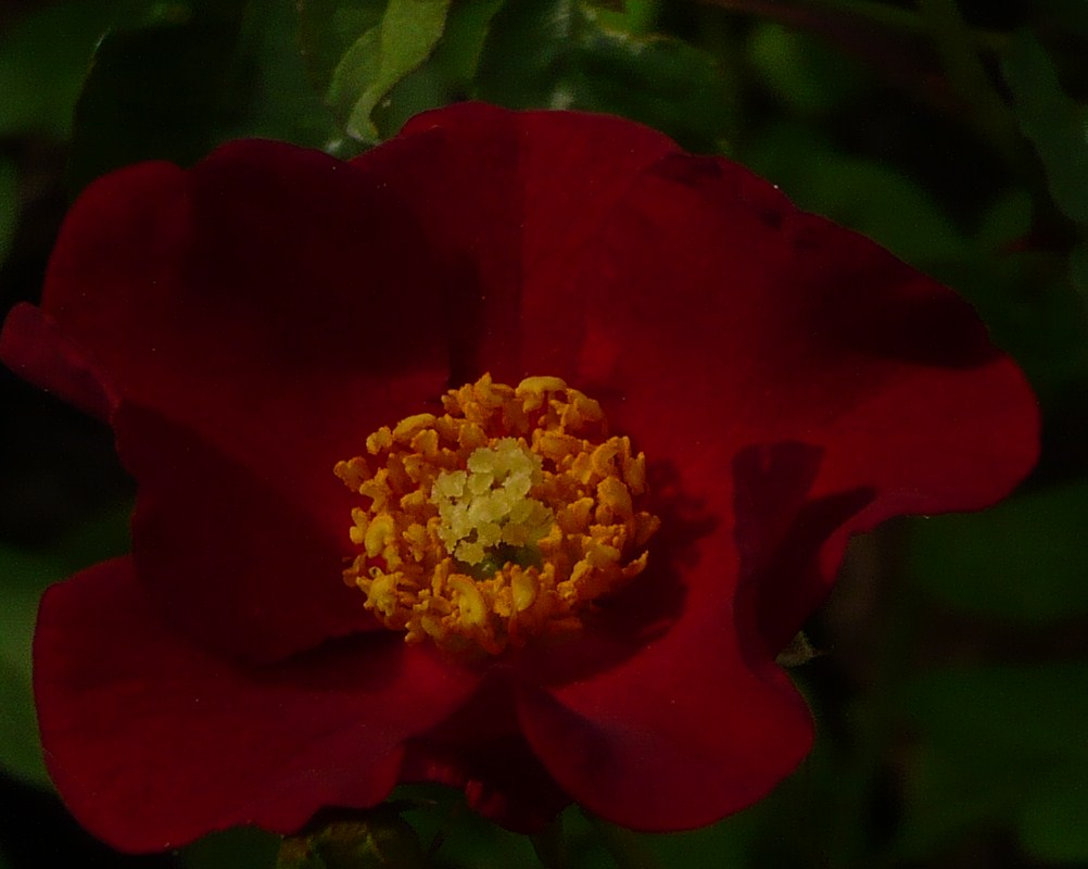 rose-du-matin-du-10-mai-002.JPG