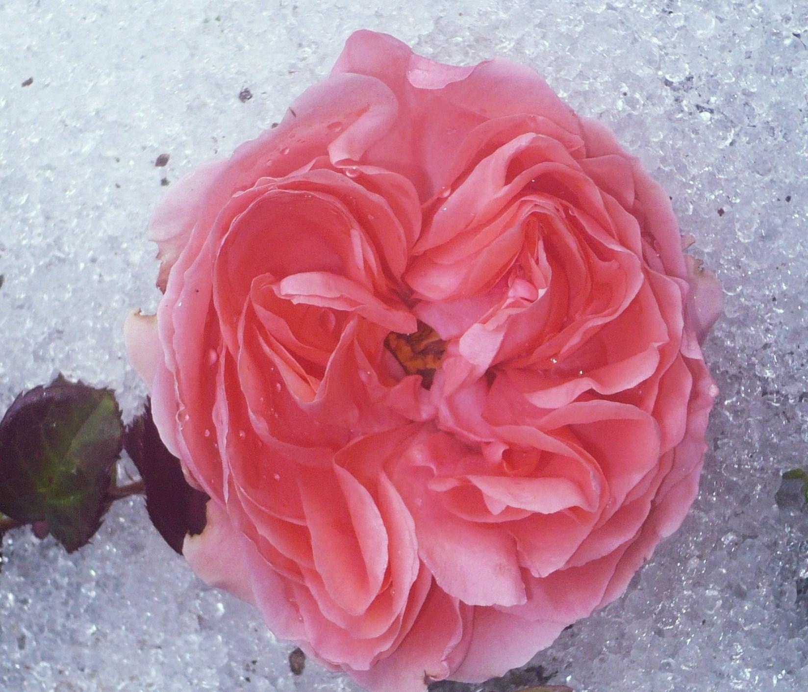 premiere-neige-et-rose-003.JPG