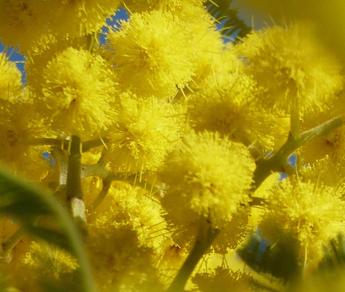 mimosa-de-fevrier-009.JPG