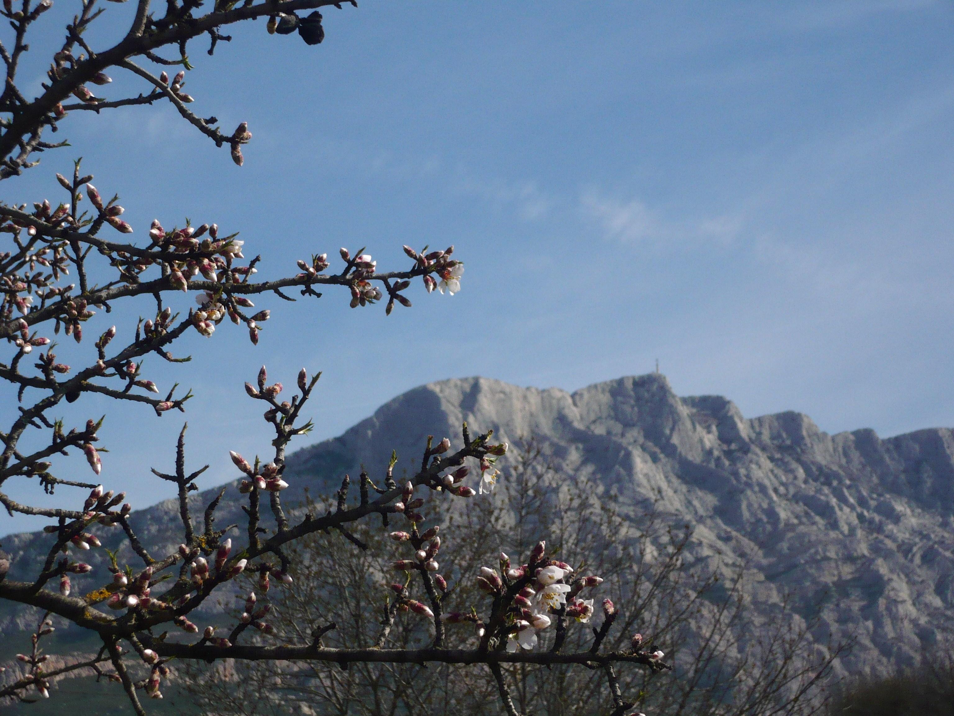 amandiers-en-fleurs-le-printemps-009.JPG