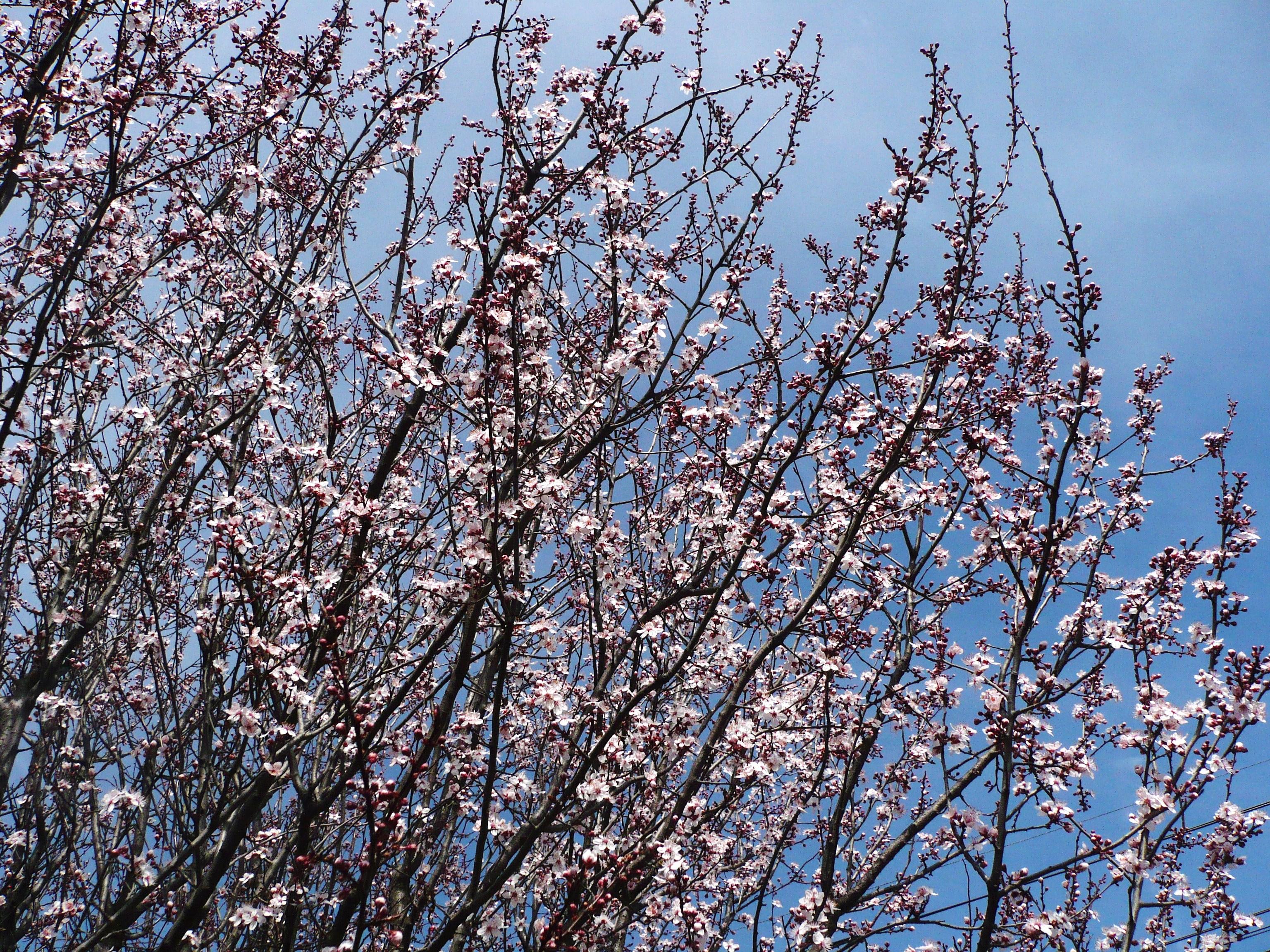 amandiers-en-fleurs-le-printemps-045.JPG