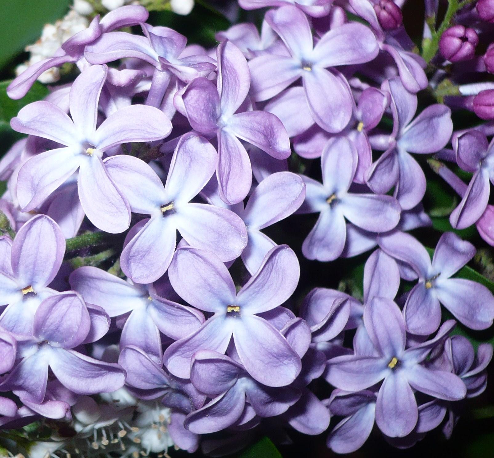 lilas-en-fleurs-002.JPG
