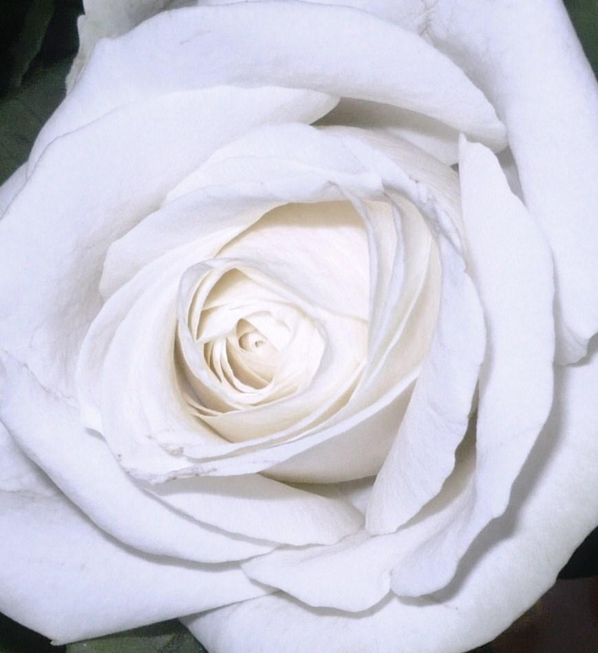 le-bouquet-aux-roses-blanches-et-la-minette-007.JPG