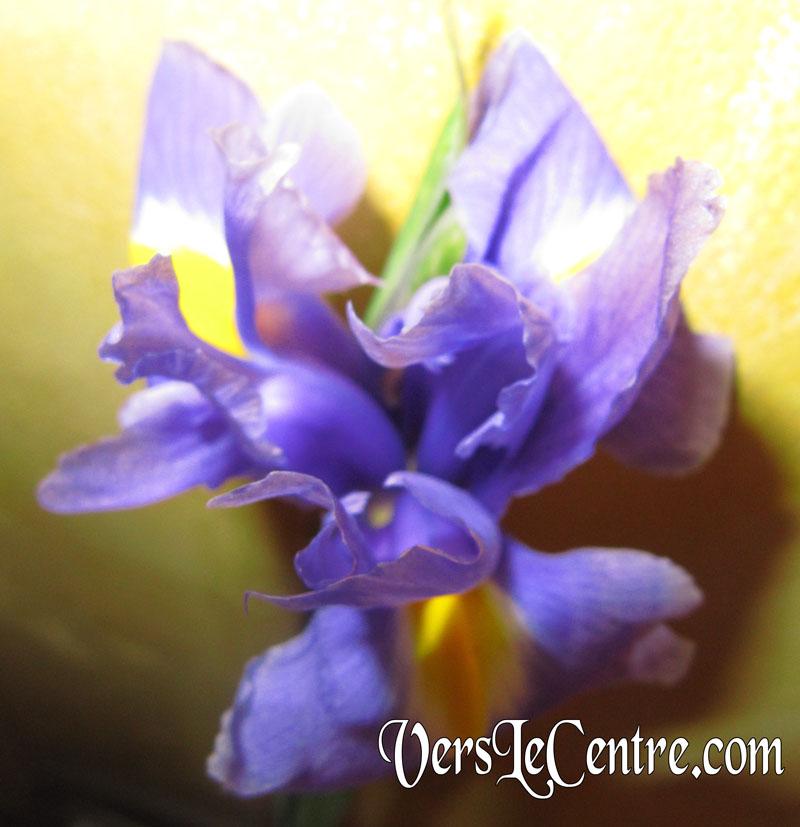 iris-bleu-de-dimanche-0032.JPG