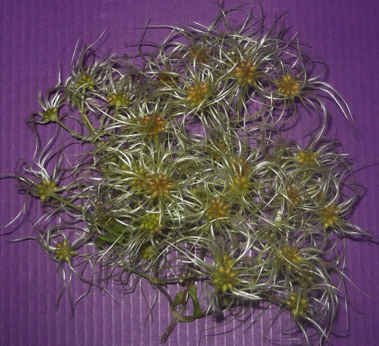 fleur-de-clematique-ce-quil-en-reste-002.JPG