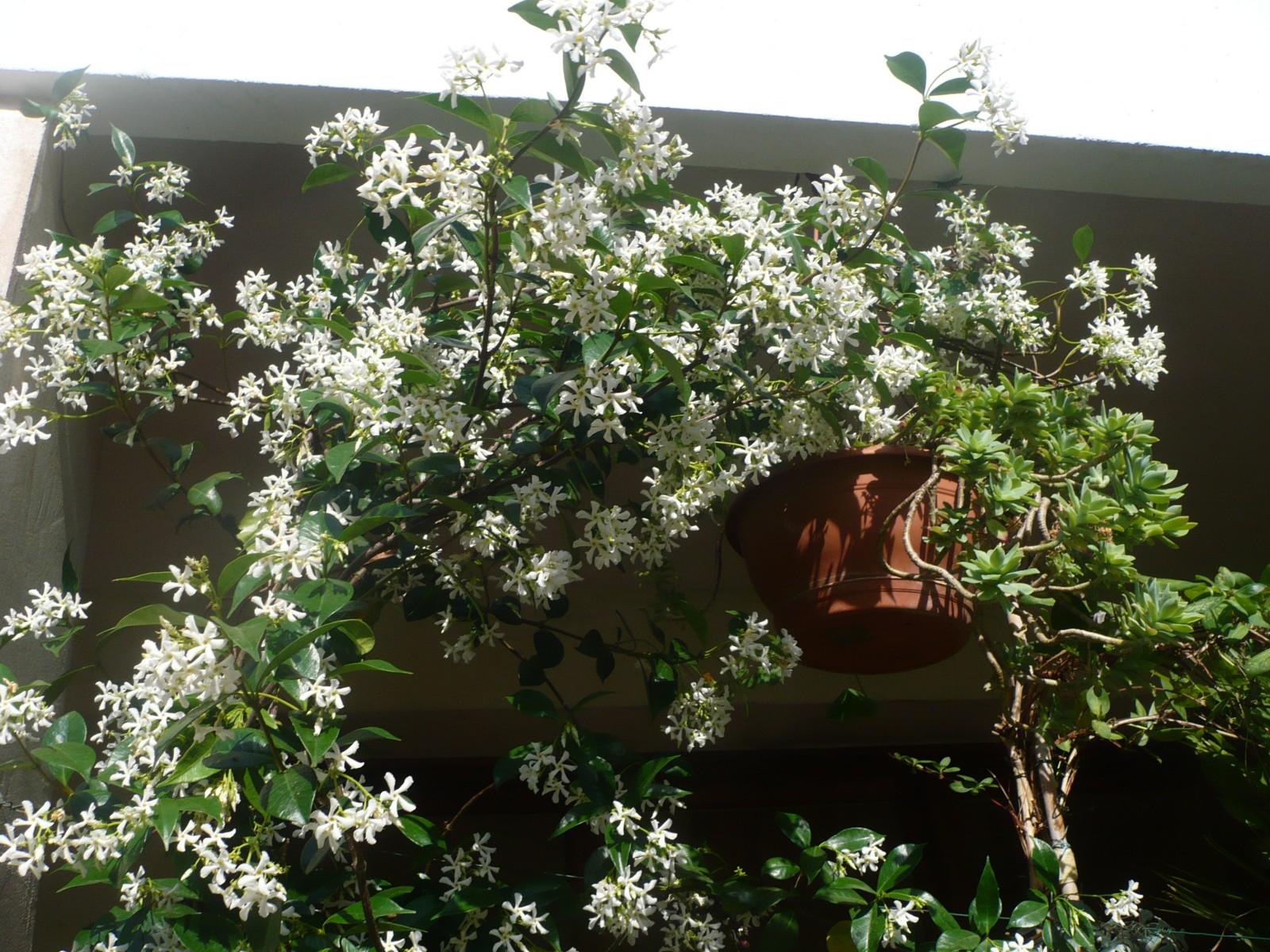 Sur mon chemin floraison blanche et toil e des odorif rantes fleurs de jasmin vers le centre - Jasmin d hiver blanc ...