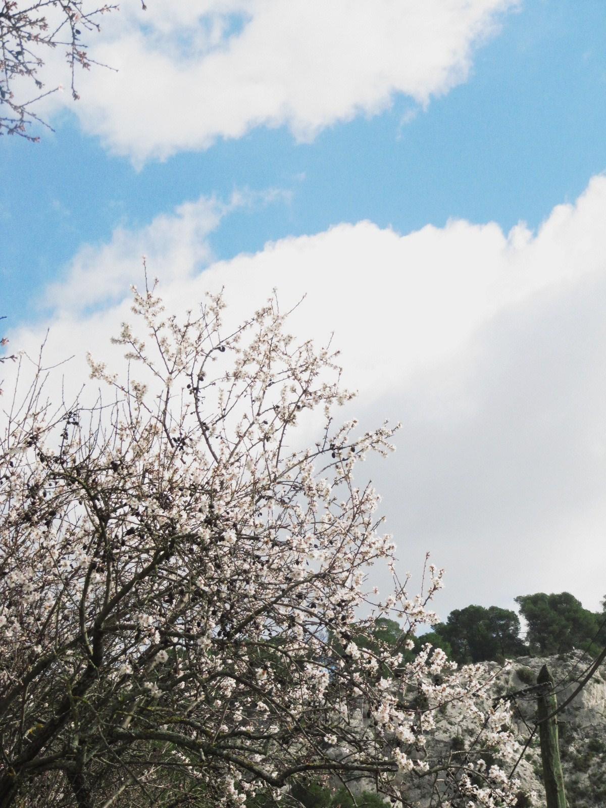 amandiers-en-fleurs-007.JPG