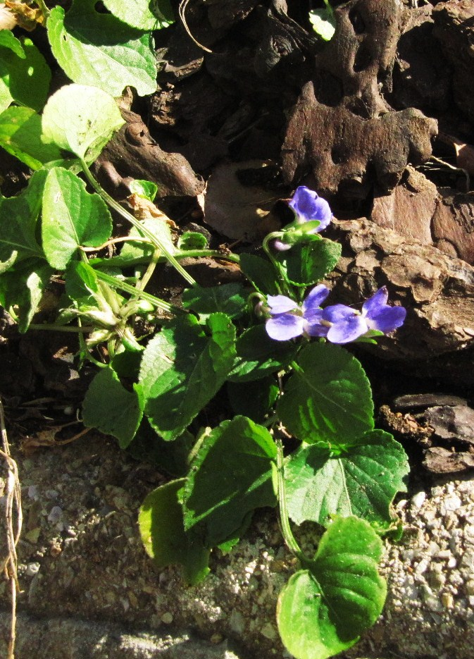 premieres-violettes-021.JPG