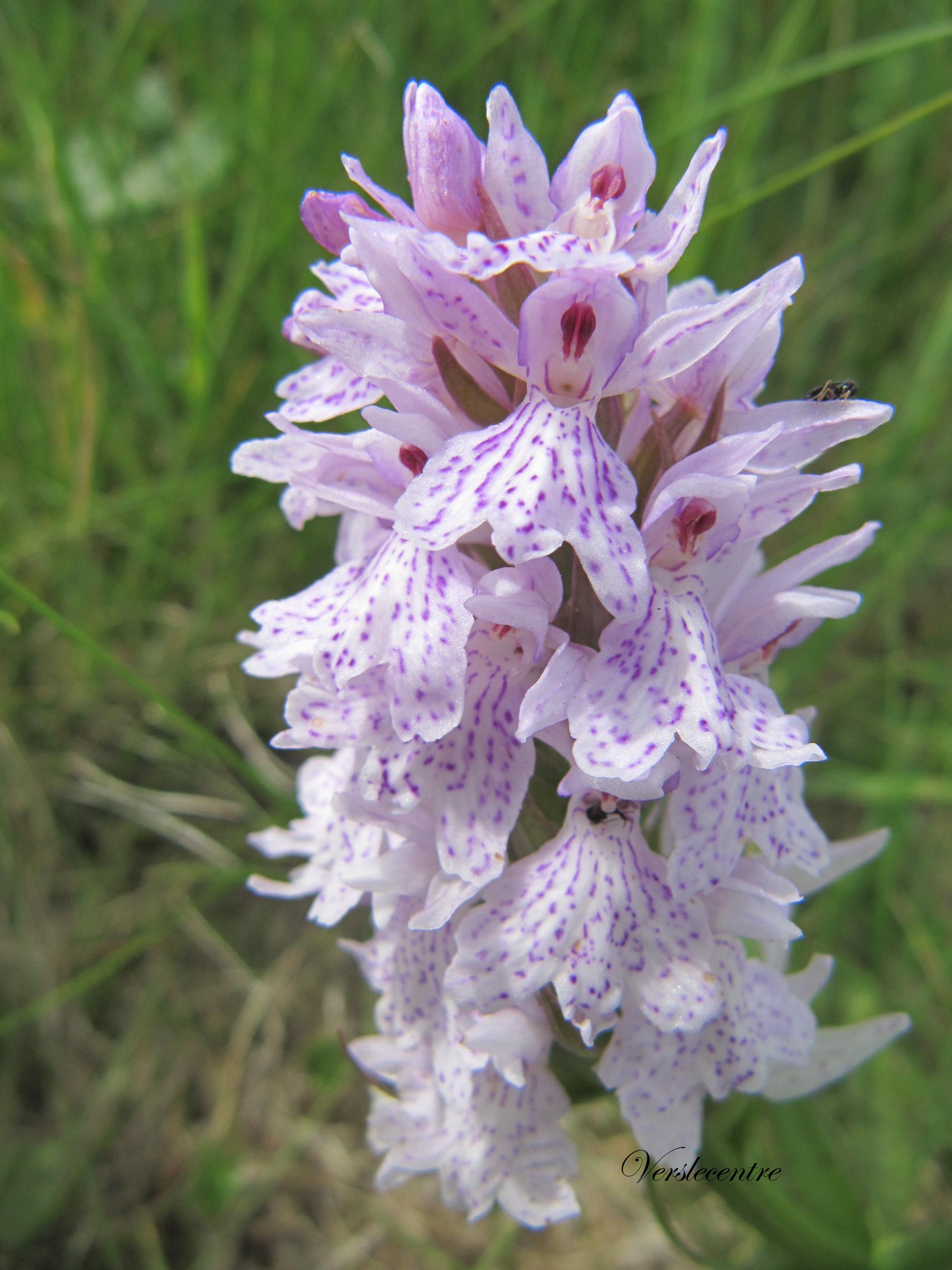 orchidee sauvage ardeche
