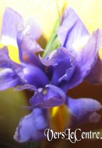 iris bleu de dimanche 003(2)