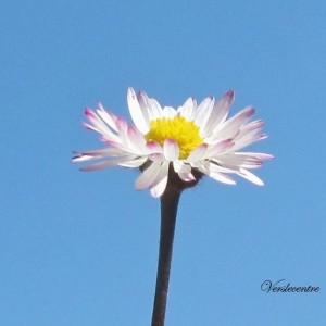 fleur de Pâquerette 012