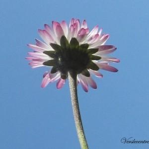 fleur de Pâquerette 013