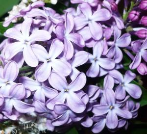 lilas en fleurs 001