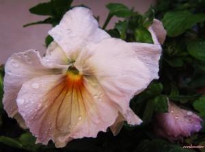 le jasmin jaune en hiver 006