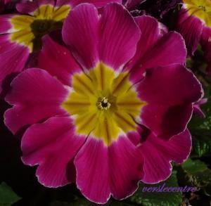 les petites fleurs bleux 001
