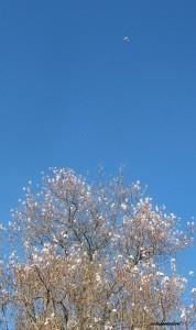 fleur d'amandier 019
