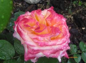 roses d'avril 2014 020