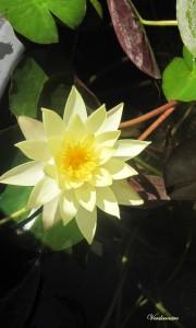 lotus jaune (2)