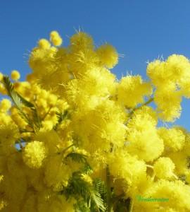 mimosa de février 012