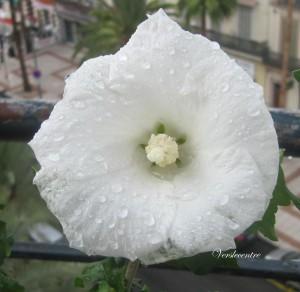 Hibiscus blanc bis bis