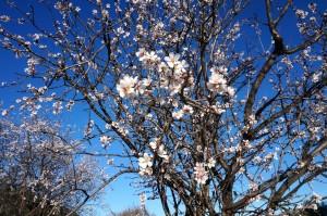 Les amandiers sont en fleurs 2016 006