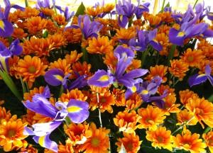 Fleurs Hyèroises 020