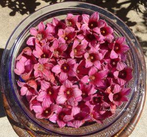 fleurs étoilées roses 003