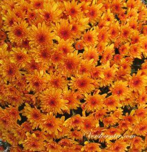 automne-et-chrysanthemes-044