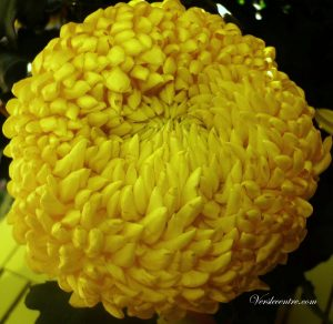 chrysantheme-jaune-007